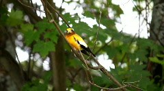Evening Grosbeak Male 2 Stock Footage