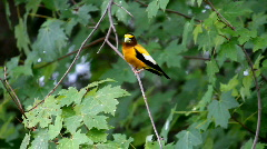 Evening Grosbeak Male 1 Stock Footage
