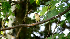 Evening Grosbeak Female 3 Stock Footage