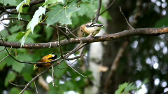 Evening Grosbeak Couple 1 Stock Footage