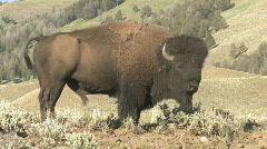 P01156 American Bison aka Buffalo Bull Stock Footage