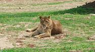 Lioness resting wildlife animals Stock Footage