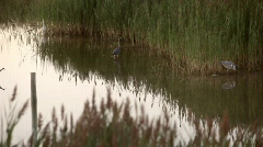 Birds in the marsh Stock Footage