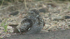 P01201 Common Nighthawk on Road Stock Footage
