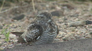 Stock Video Footage of P01201 Common Nighthawk on Road