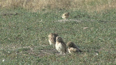 P01202 Burrowing Owl Family Stock Footage