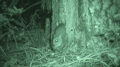 P01206 Flying Squirrel at Night with Infrared Stock Footage