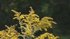 Goldenrod Stock Footage