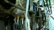 Milking Cows in the farm Stock Footage