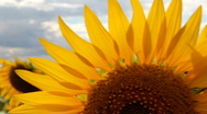 Stock Video Footage of Sunflowers dancing in the wind
