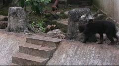 Sun Bear (5) Stock Footage