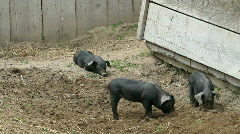 Baby pigs in dirt P HD 1087 Stock Footage