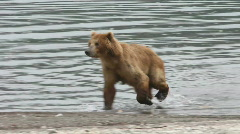 Bears run - stock footage