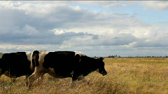 Cows graze in field - stock footage