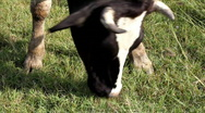 Stock Video Footage of Cow graze in field