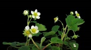 Stock Video Footage of Time-lapse of blooming strawberry 3 with ALPHA matte