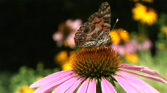 Moth on Coneflower Stock Footage
