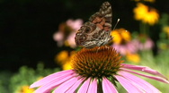 Stock Video Footage of Moth on Coneflower