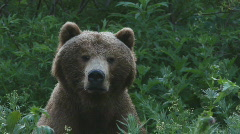 Bear, a portrait Stock Footage