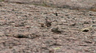 Two Small Crickets On A Rock Stock Footage