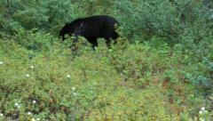 Bear black walking forest Alaskan forest mountain P HD 1302 - stock footage