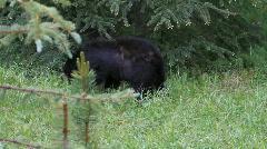 Black bear walking in forest P HD 1294 Stock Footage