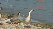 Ducks At A Lake Stock Footage