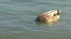 Ducks At A Lake Stock Footage