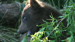 Bear cub Stock Footage