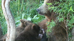Bear cubs drink milk Stock Footage