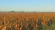 Stock Video Footage of Corn Morning5