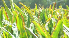 Corn 11 Stock Footage