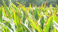 Stock Video Footage of Corn 11