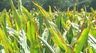 Stock Video Footage of Corn 12