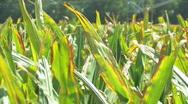 Corn 12 Stock Footage
