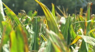Stock Video Footage of Corn 13 1