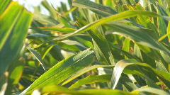 Corn1 Stock Footage