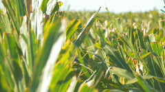 Corn2 Stock Footage