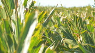 Stock Video Footage of Corn2