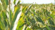 Corn2 Stock Footage