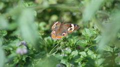 Buckeye ,butterfly Stock Footage