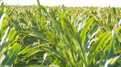 Corn3 Stock Footage