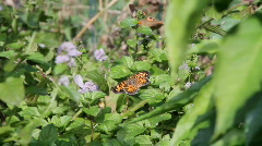 Butterfly ,lepidopterous Stock Footage