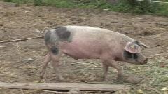 Pig walks in farm Stock Footage