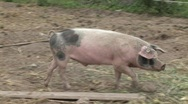Stock Video Footage of pig walks in farm