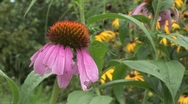 Stock Video Footage of bee flies on echinacea flower
