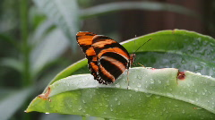 Butterfly resting on a wet leaf Stock Footage