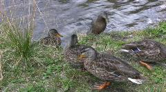 Wild Ducks Stock Footage