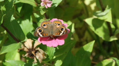 Buckeye  butterfly modeling Stock Footage