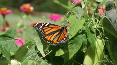 Monarch, lepidoptrous Stock Footage